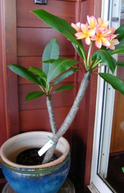 This is about the size of the Plumeria (my favorite flower, which I am somewhat obsessed with) plant in my backyard in California. In Hawaii they grow as tall as trees! (Image Credit: Maui Plumeria Gardens)